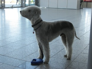 A Bedlington Terrier